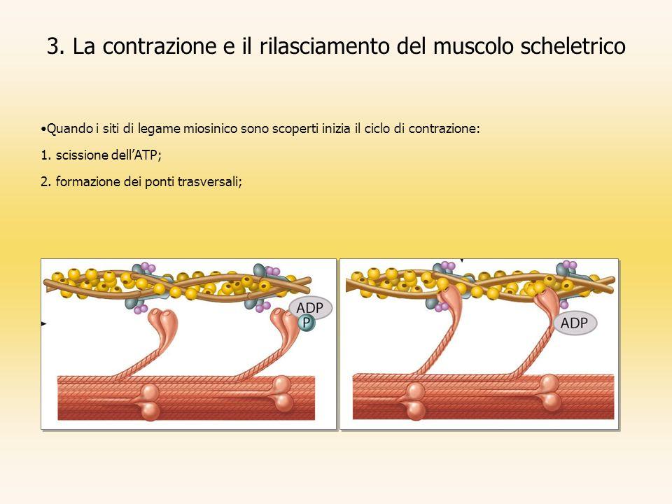 3. La contrazione e il rilasciamento del muscolo scheletrico Quando i siti di legame miosinico sono scoperti inizia il ciclo di contrazione: 1. scissi