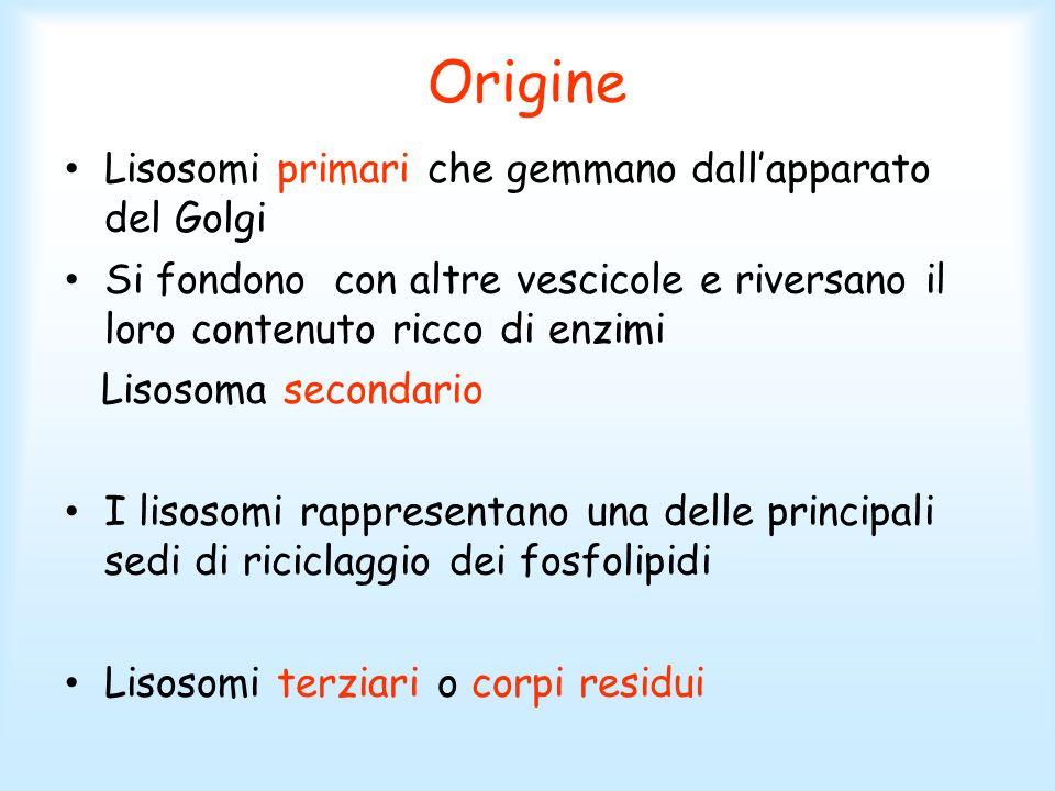 Origine Lisosomi primari che gemmano dallapparato del Golgi Si fondono con altre vescicole e riversano il loro contenuto ricco di enzimi Lisosoma seco
