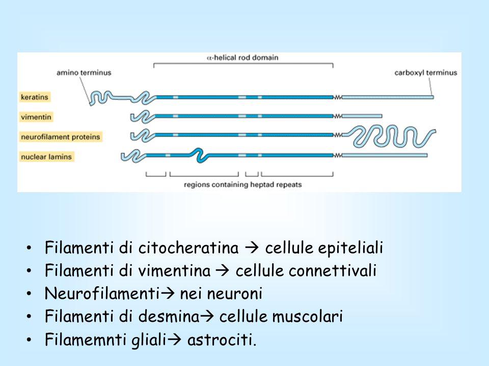 Filamenti di citocheratina cellule epiteliali Filamenti di vimentina cellule connettivali Neurofilamenti nei neuroni Filamenti di desmina cellule musc