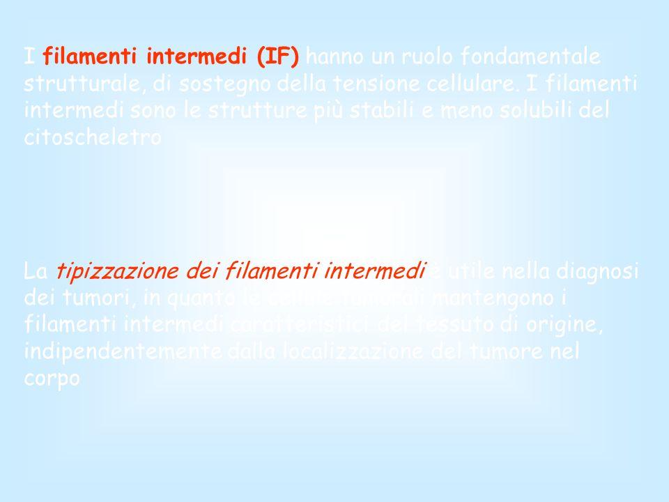 I filamenti intermedi (IF) hanno un ruolo fondamentale strutturale, di sostegno della tensione cellulare. I filamenti intermedi sono le strutture più