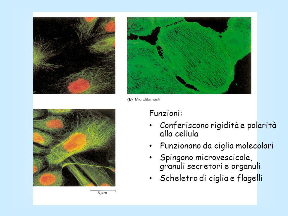 Funzioni: Conferiscono rigidità e polarità alla cellula Funzionano da ciglia molecolari Spingono microvescicole, granuli secretori e organuli Scheletr