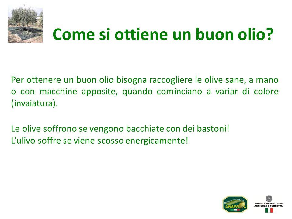 Per ottenere un buon olio bisogna raccogliere le olive sane, a mano o con macchine apposite, quando cominciano a variar di colore (invaiatura). Come s
