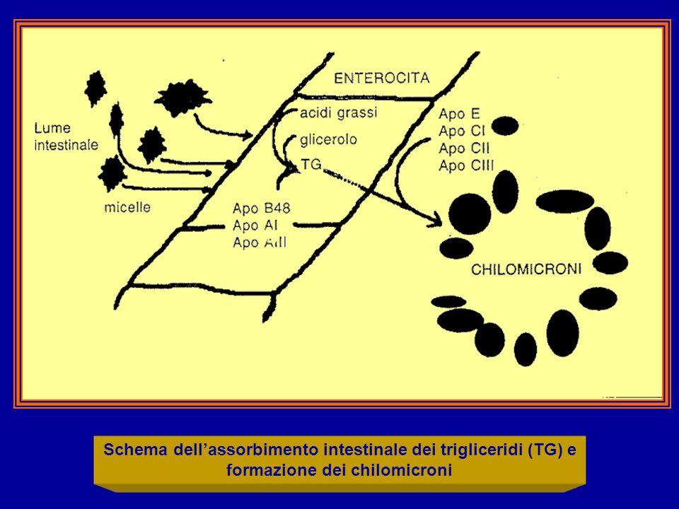 Schema dellassorbimento intestinale dei trigliceridi (TG) e formazione dei chilomicroni