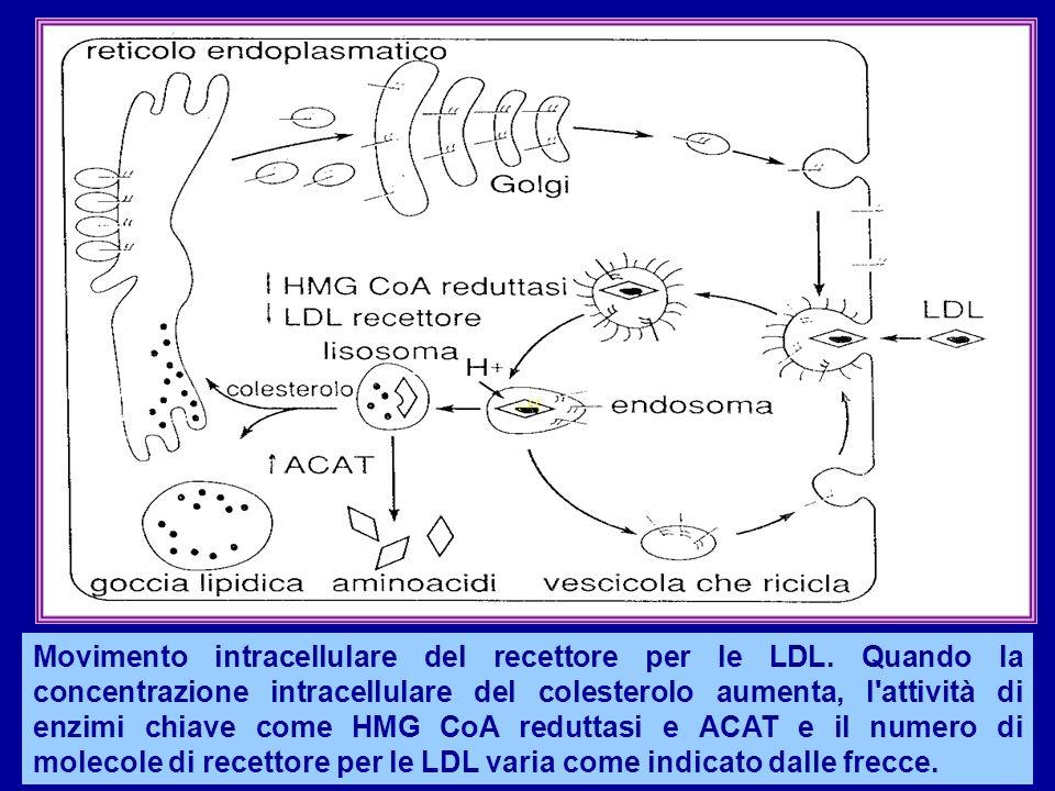 Movimento intracellulare del recettore per le LDL. Quando la concentrazione intracellulare del colesterolo aumenta, l'attività di enzimi chiave come H