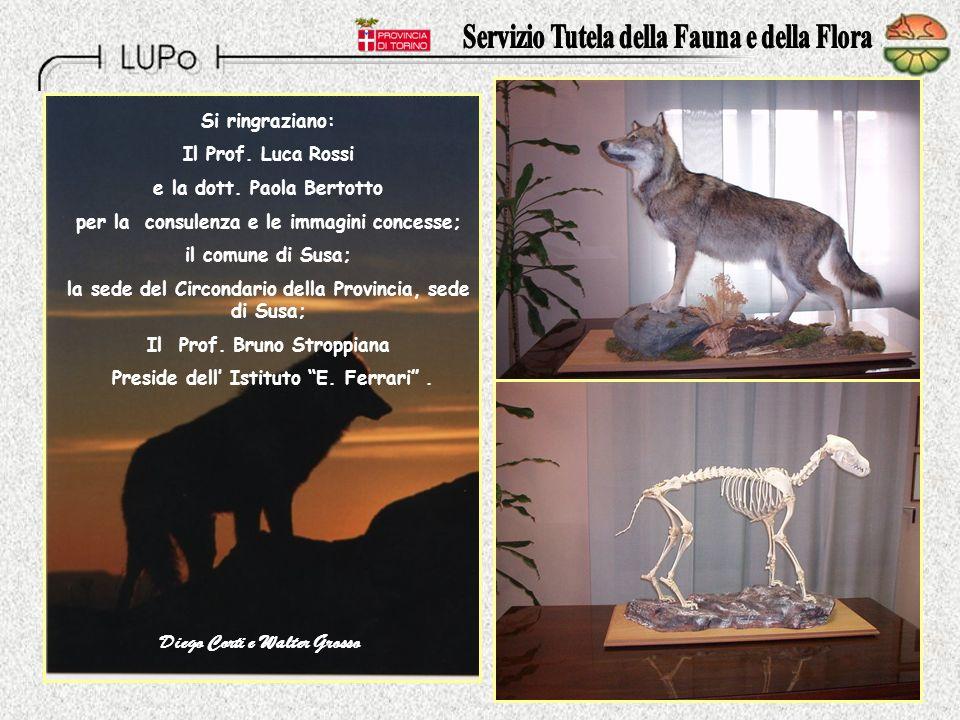 C.D. Questi due esemplari di lupo, Entrambi di sesso maschile e di 19 mesi di età sono stati analizzati: dal loro DNA è risultato che erano lupi di Sp