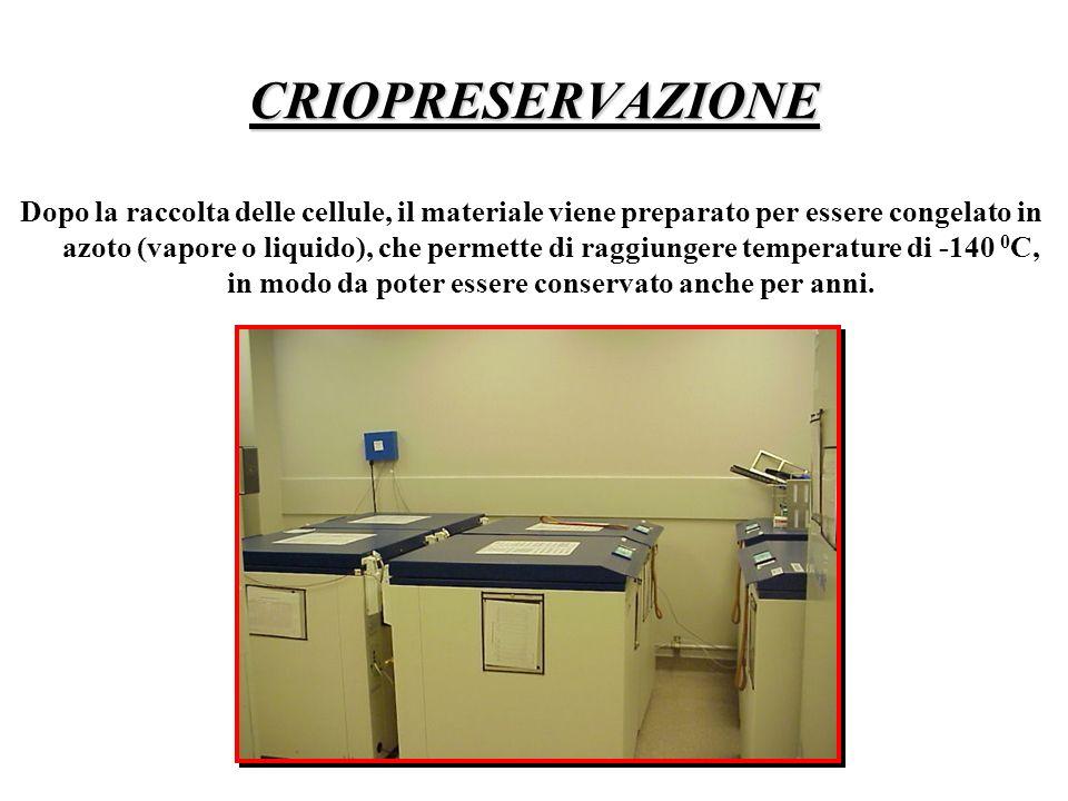 CRIOPRESERVAZIONE Dopo la raccolta delle cellule, il materiale viene preparato per essere congelato in azoto (vapore o liquido), che permette di raggi