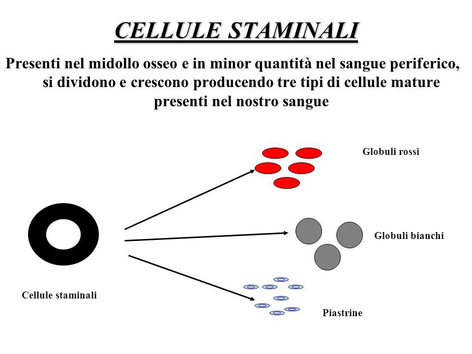 CELLULE STAMINALI Presenti nel midollo osseo e in minor quantità nel sangue periferico, si dividono e crescono producendo tre tipi di cellule mature p