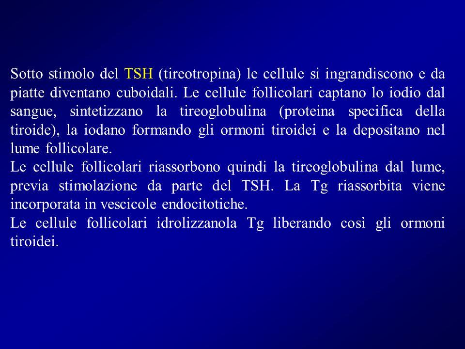 Sotto stimolo del TSH (tireotropina) le cellule si ingrandiscono e da piatte diventano cuboidali. Le cellule follicolari captano lo iodio dal sangue,