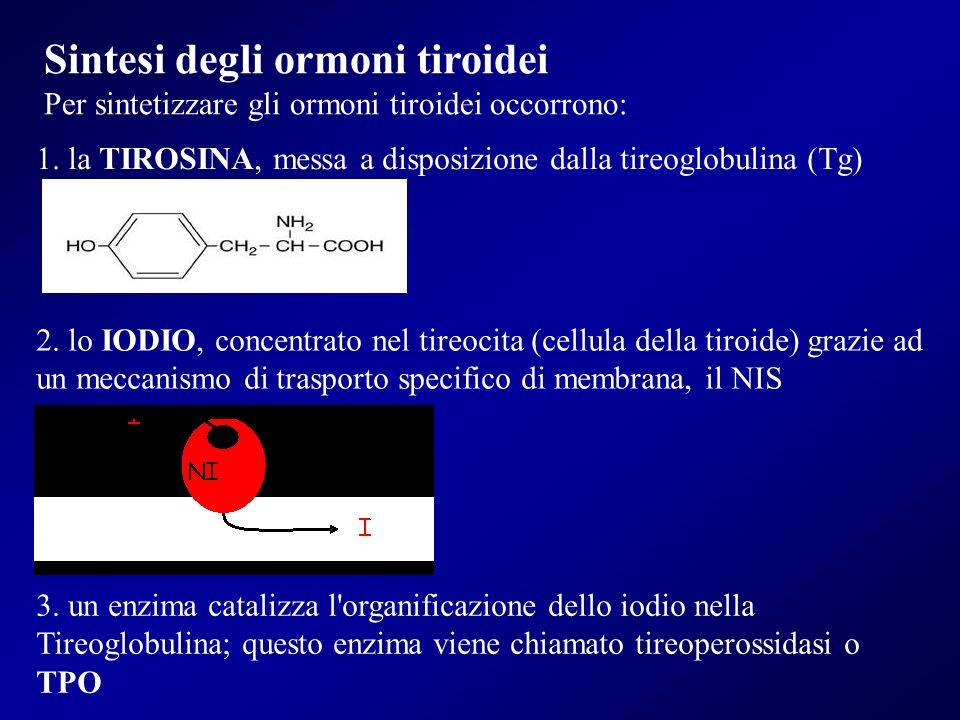 Sintesi degli ormoni tiroidei Per sintetizzare gli ormoni tiroidei occorrono: 1. la TIROSINA, messa a disposizione dalla tireoglobulina (Tg) 2. lo IOD