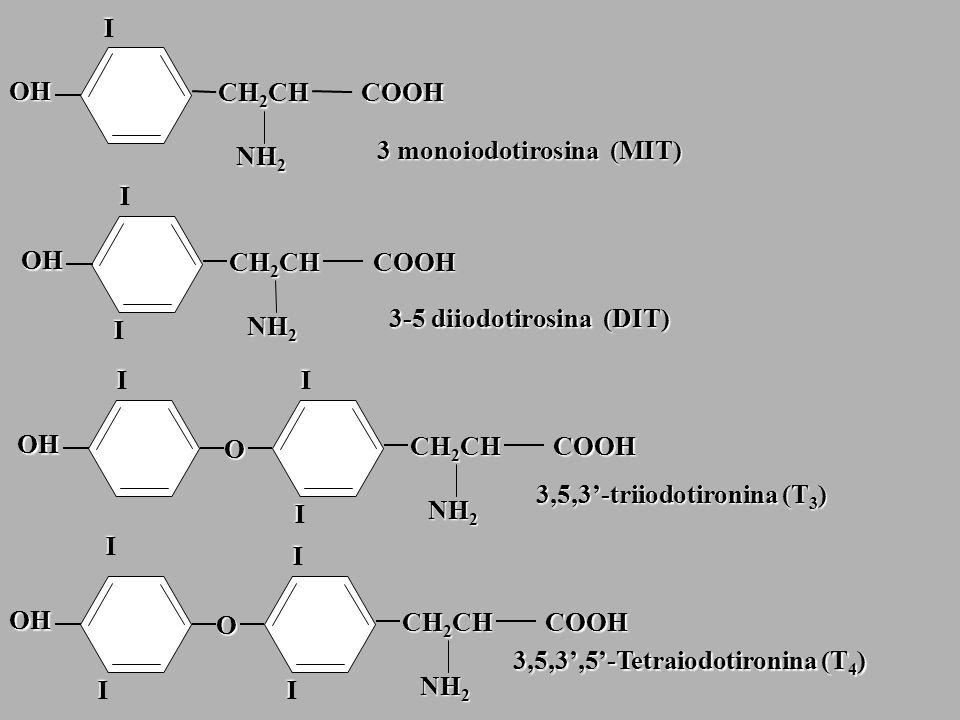 I CH 2 CH COOH NH 2 OH 3 monoiodotirosina (MIT) CH 2 CH COOH NH 2 OH I I 3-5 diiodotirosina (DIT) OH I O CH 2 CH COOH NH 2 I I OH O CH 2 CH COOH NH 2