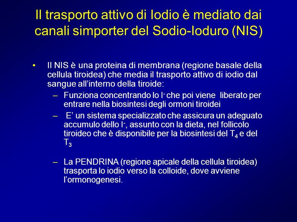 Il trasporto attivo di Iodio è mediato dai canali simporter del Sodio-Ioduro (NIS) Il NIS è una proteina di membrana (regione basale della cellula tir