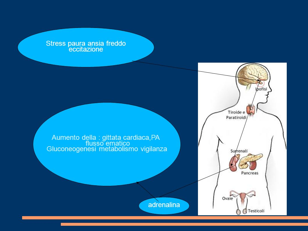 Aumento della : gittata cardiaca,PA flusso ematico Gluconeogenesi metabolismo vigilanza adrenalina Stress paura ansia freddo eccitazione