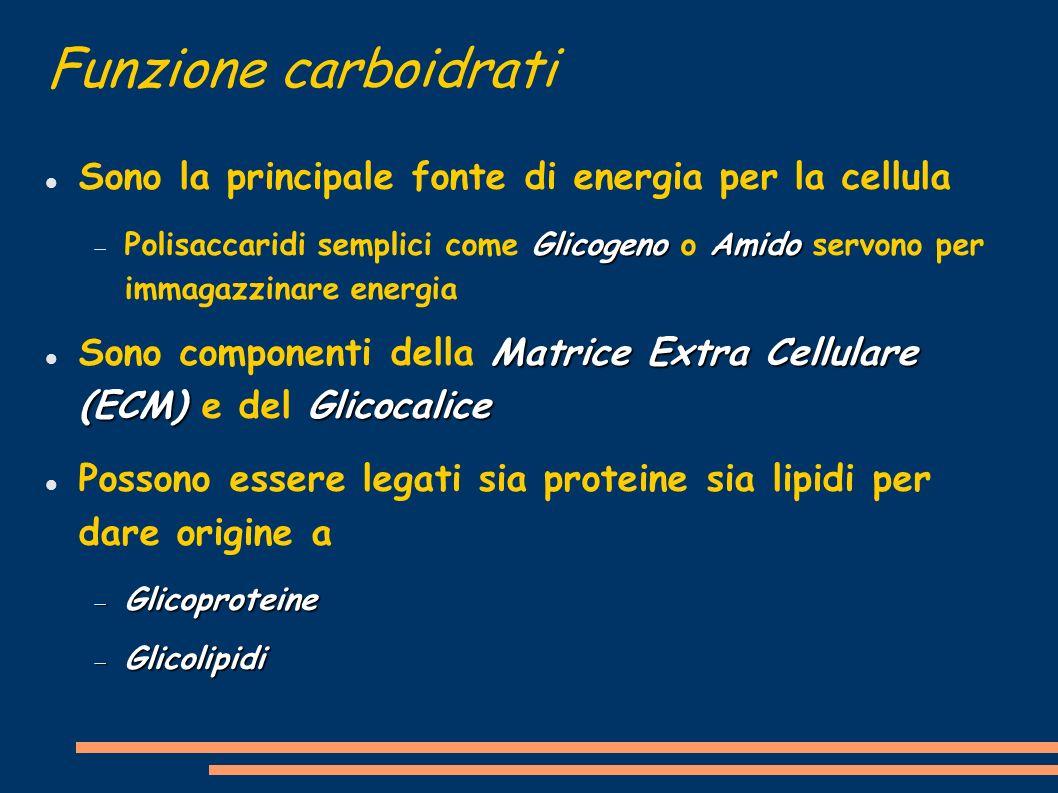 Funzione carboidrati Sono la principale fonte di energia per la cellula GlicogenoAmido Polisaccaridi semplici come Glicogeno o Amido servono per immag