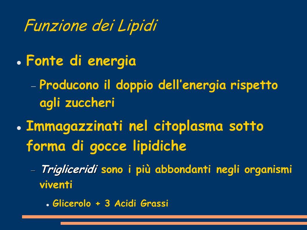 Funzione dei Lipidi Fonte di energia Producono il doppio dellenergia rispetto agli zuccheri Immagazzinati nel citoplasma sotto forma di gocce lipidiche Trigliceridi Trigliceridi sono i più abbondanti negli organismi viventi Glicerolo + 3 Acidi Grassi