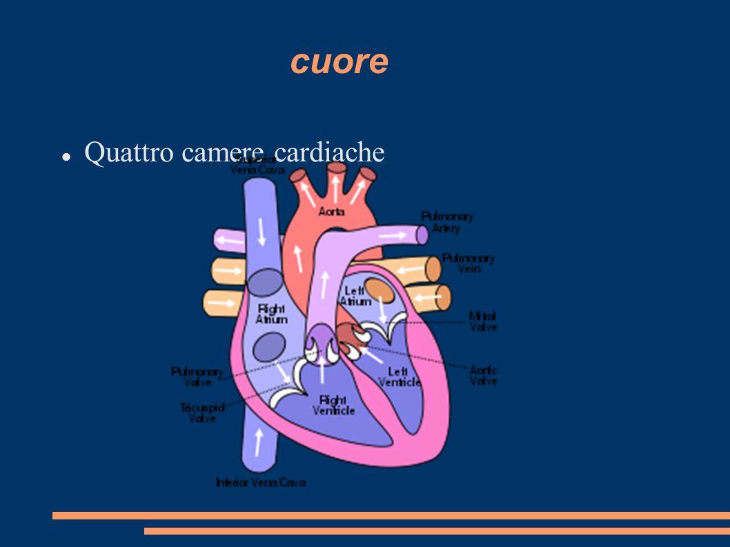 cuore Quattro camere cardiache