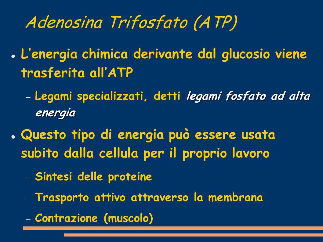Adenosina Trifosfato (ATP) Lenergia chimica derivante dal glucosio viene trasferita allATP legami fosfato ad alta energia Legami specializzati, detti legami fosfato ad alta energia Questo tipo di energia può essere usata subito dalla cellula per il proprio lavoro Sintesi delle proteine Trasporto attivo attraverso la membrana Contrazione (muscolo)