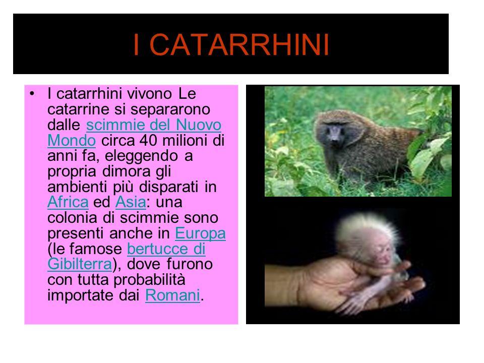 I CATARRHINI I catarrhini vivono Le catarrine si separarono dalle scimmie del Nuovo Mondo circa 40 milioni di anni fa, eleggendo a propria dimora gli