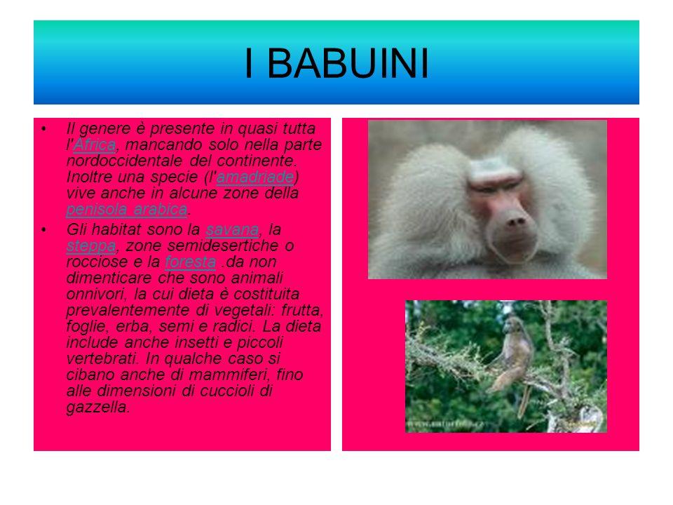 I BABUINI Il genere è presente in quasi tutta l'Africa, mancando solo nella parte nordoccidentale del continente. Inoltre una specie (l'amadriade) viv