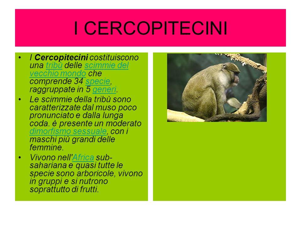 I CERCOPITECINI I Cercopitecini costituiscono una tribù delle scimmie del vecchio mondo che comprende 34 specie, raggruppate in 5 generi.tribùscimmie