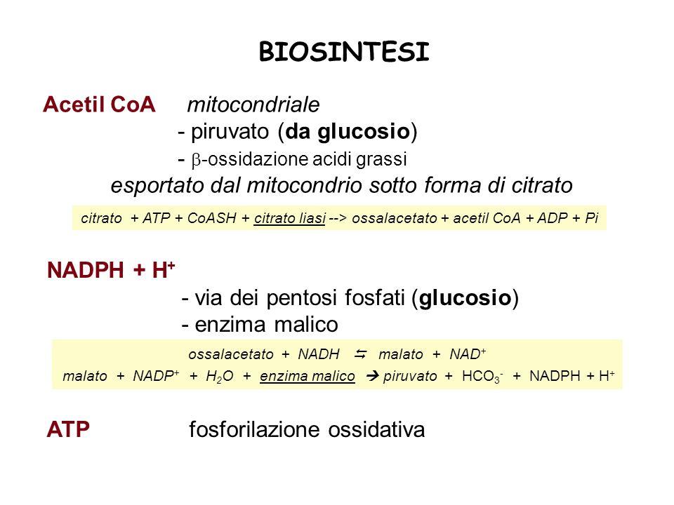 BIOSINTESI Acetil CoA mitocondriale - piruvato (da glucosio) - -ossidazione acidi grassi esportato dal mitocondrio sotto forma di citrato citrato + ATP + CoASH + citrato liasi --> ossalacetato + acetil CoA + ADP + Pi ossalacetato + NADH malato + NAD + malato + NADP + + H 2 O + enzima malico piruvato + HCO 3 - + NADPH + H + NADPH + H + - via dei pentosi fosfati (glucosio) - enzima malico ATP fosforilazione ossidativa