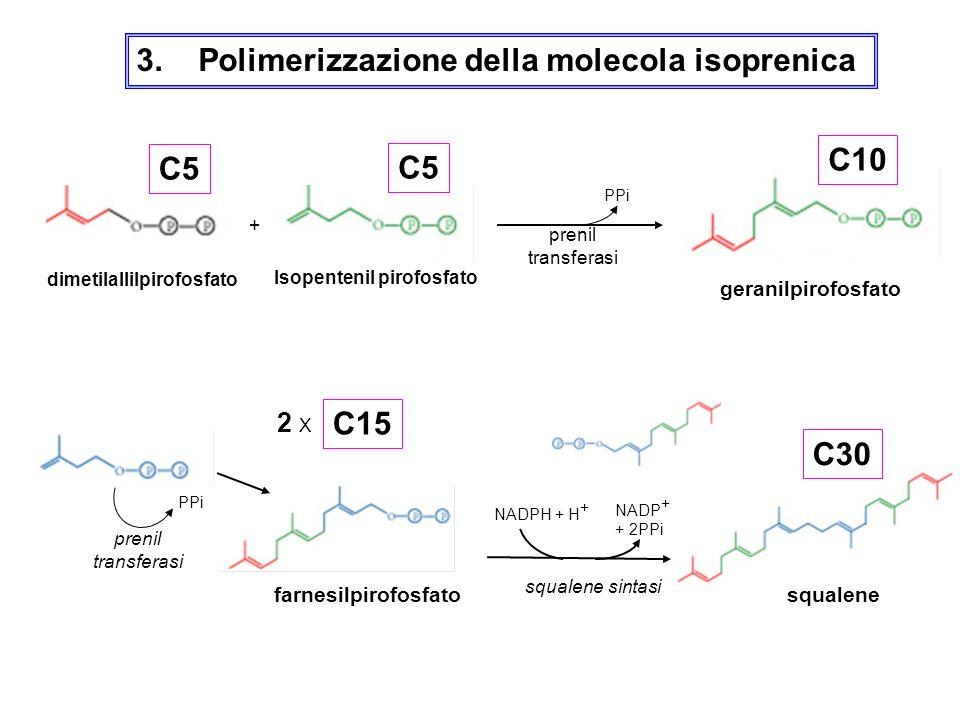 3. Polimerizzazione della molecola isoprenica dimetilallilpirofosfato Isopentenil pirofosfato + prenil transferasi PPi geranilpirofosfato PPi farnesil