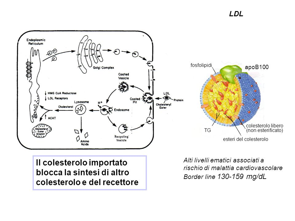 Il colesterolo importato blocca la sintesi di altro colesterolo e del recettore Alti livelli ematici associati a rischio di malattia cardiovascolare Border line 130-159 mg/dL apoB100 esteri del colesterolo fosfolipidi TG colesterolo libero (non esterificato) LDL