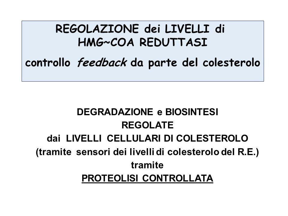 REGOLAZIONE dei LIVELLI di HMG~COA REDUTTASI controllo feedback da parte del colesterolo DEGRADAZIONE e BIOSINTESI REGOLATE dai LIVELLI CELLULARI DI COLESTEROLO (tramite sensori dei livelli di colesterolo del R.E.) tramite PROTEOLISI CONTROLLATA