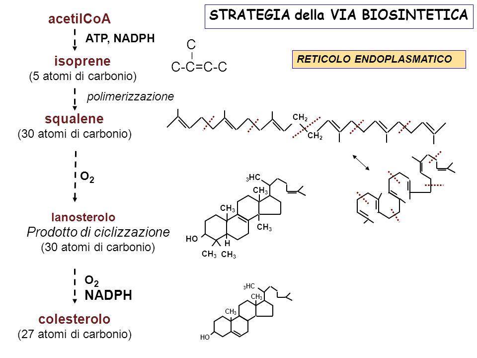 acetilCoA isoprene (5 atomi di carbonio) squalene (30 atomi di carbonio) Prodotto di ciclizzazione (30 atomi di carbonio) colesterolo (27 atomi di carbonio) lanosterolo polimerizzazione STRATEGIA della VIA BIOSINTETICA O2O2 RETICOLO ENDOPLASMATICO HO 3 HC CH 3 H HO 3 HC CH 3 CH 2 O 2 NADPH ATP, NADPH C-C=C-C I C