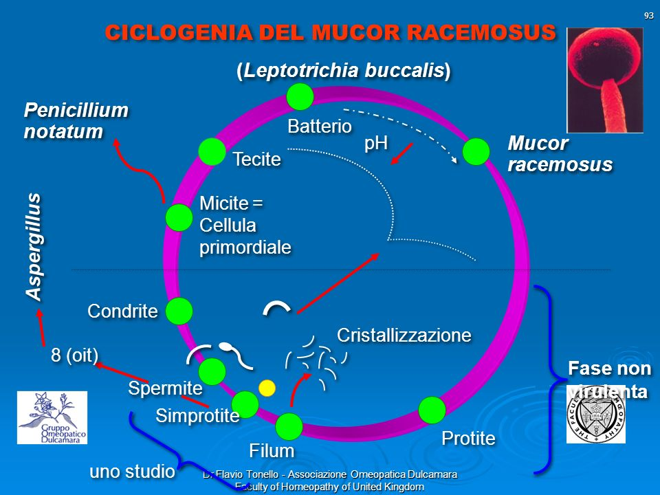Dr Flavio Tonello - Associazione Omeopatica Dulcamara Faculty of Homeopathy of United Kingdom 93 CICLOGENIA DEL MUCOR RACEMOSUS Fase non virulenta Fas