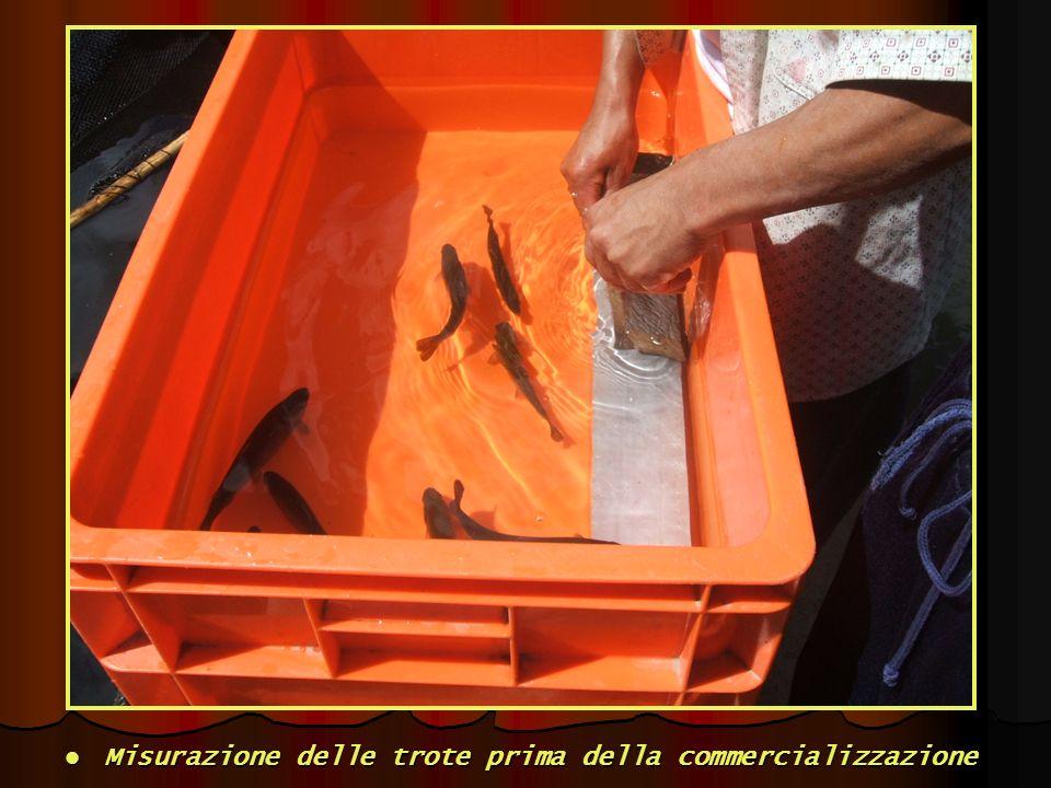 Misurazione delle trote prima della commercializzazione Misurazione delle trote prima della commercializzazione