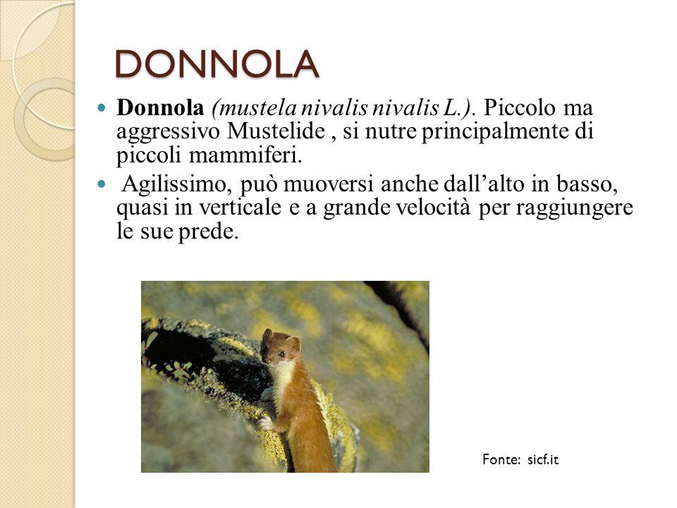 DONNOLA Donnola (mustela nivalis nivalis L.). Piccolo ma aggressivo Mustelide, si nutre principalmente di piccoli mammiferi. Agilissimo, può muoversi