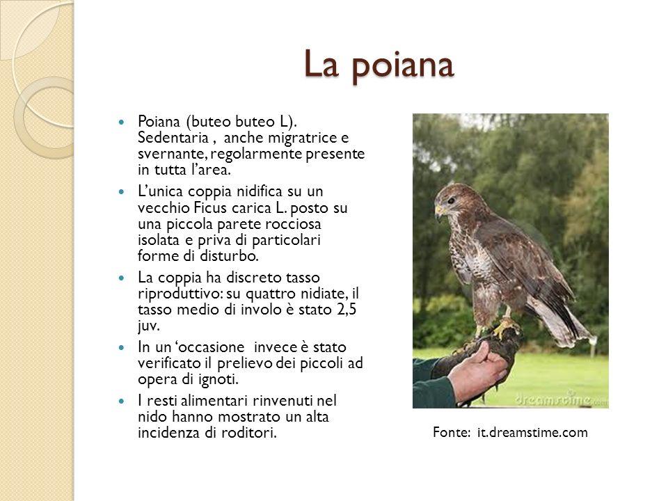 La poiana Poiana (buteo buteo L). Sedentaria, anche migratrice e svernante, regolarmente presente in tutta larea. Lunica coppia nidifica su un vecchio