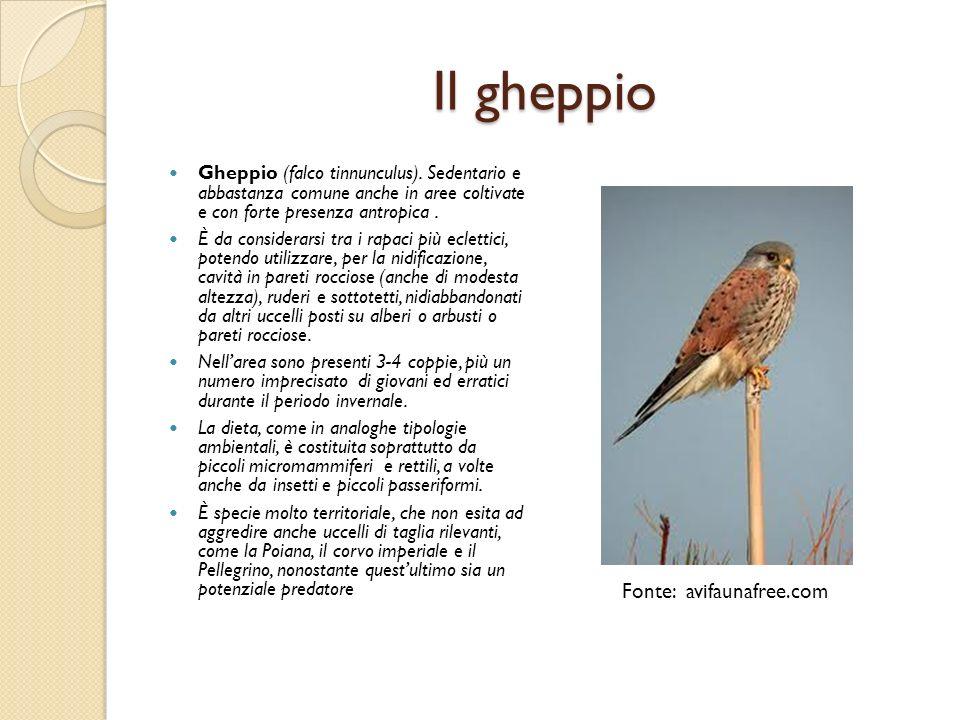 Il gheppio Gheppio (falco tinnunculus). Sedentario e abbastanza comune anche in aree coltivate e con forte presenza antropica. È da considerarsi tra i