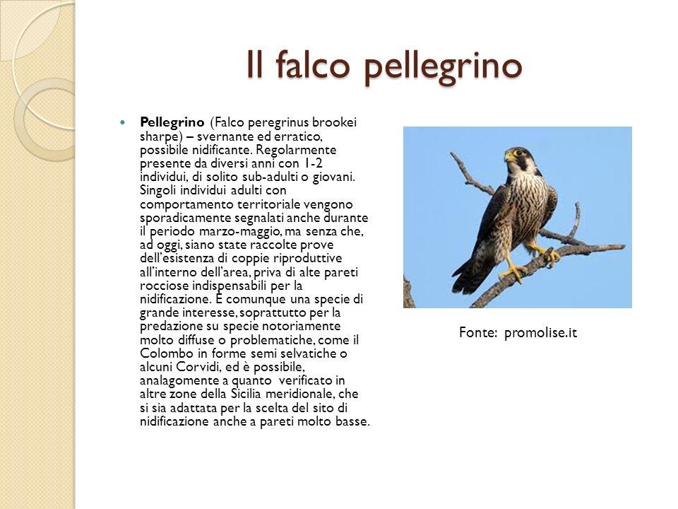 Il falco pellegrino Pellegrino (Falco peregrinus brookei sharpe) – svernante ed erratico, possibile nidificante. Regolarmente presente da diversi anni
