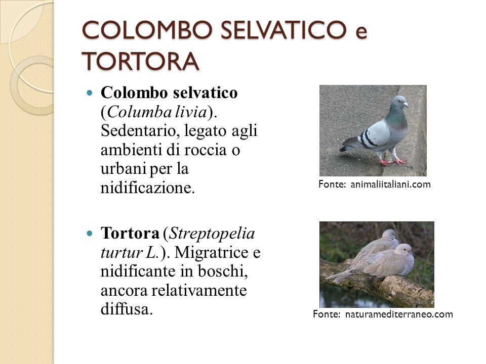 COLOMBO SELVATICO e TORTORA Colombo selvatico (Columba livia). Sedentario, legato agli ambienti di roccia o urbani per la nidificazione. Tortora (Stre