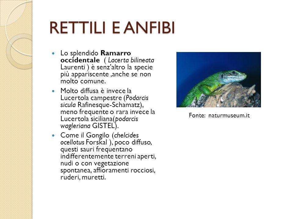 RETTILI E ANFIBI Lo splendido Ramarro occidentale ( Lacerta bilineata Laurenti ) è senzaltro la specie più appariscente,anche se non molto comune. Mol