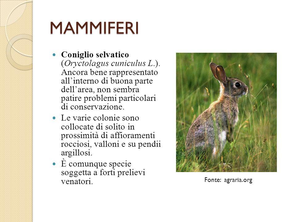 MAMMIFERI Coniglio selvatico (Oryctolagus cuniculus L.). Ancora bene rappresentato allinterno di buona parte dellarea, non sembra patire problemi part