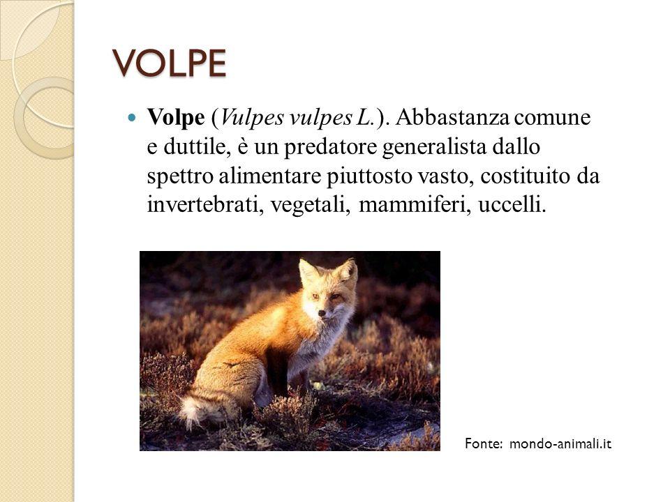 VOLPE Volpe (Vulpes vulpes L.). Abbastanza comune e duttile, è un predatore generalista dallo spettro alimentare piuttosto vasto, costituito da invert