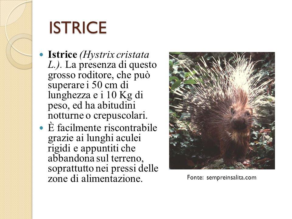 ISTRICE Istrice (Hystrix cristata L.). La presenza di questo grosso roditore, che può superare i 50 cm di lunghezza e i 10 Kg di peso, ed ha abitudini