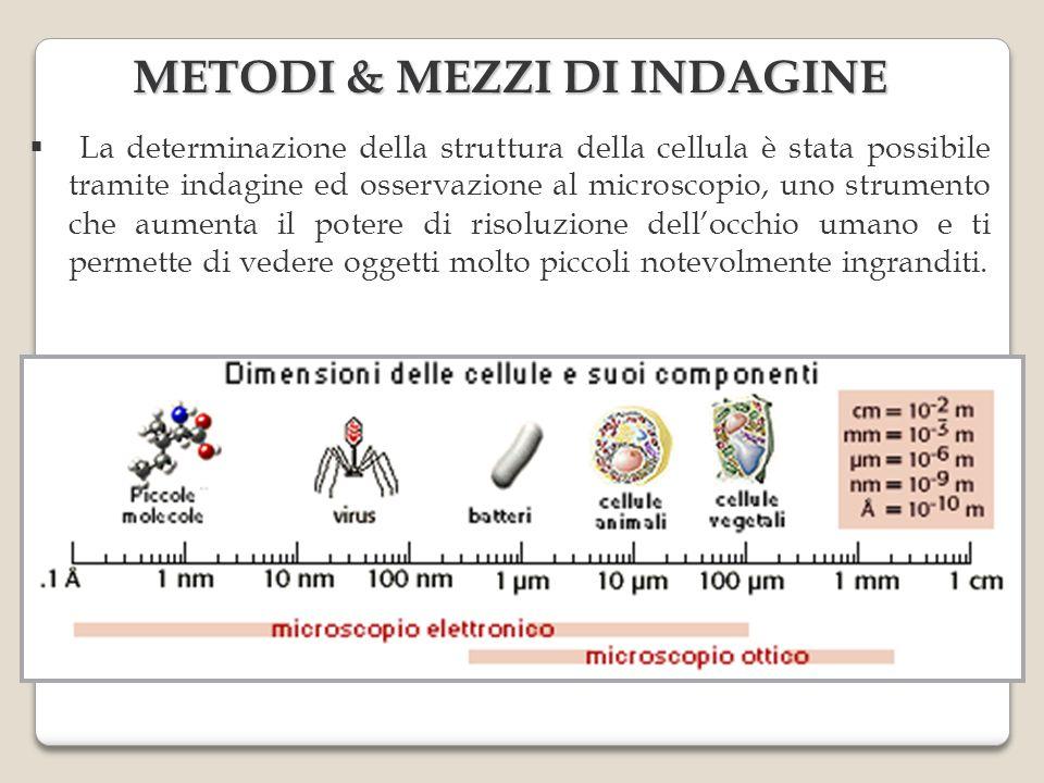 METODI & MEZZI DI INDAGINE La determinazione della struttura della cellula è stata possibile tramite indagine ed osservazione al microscopio, uno stru