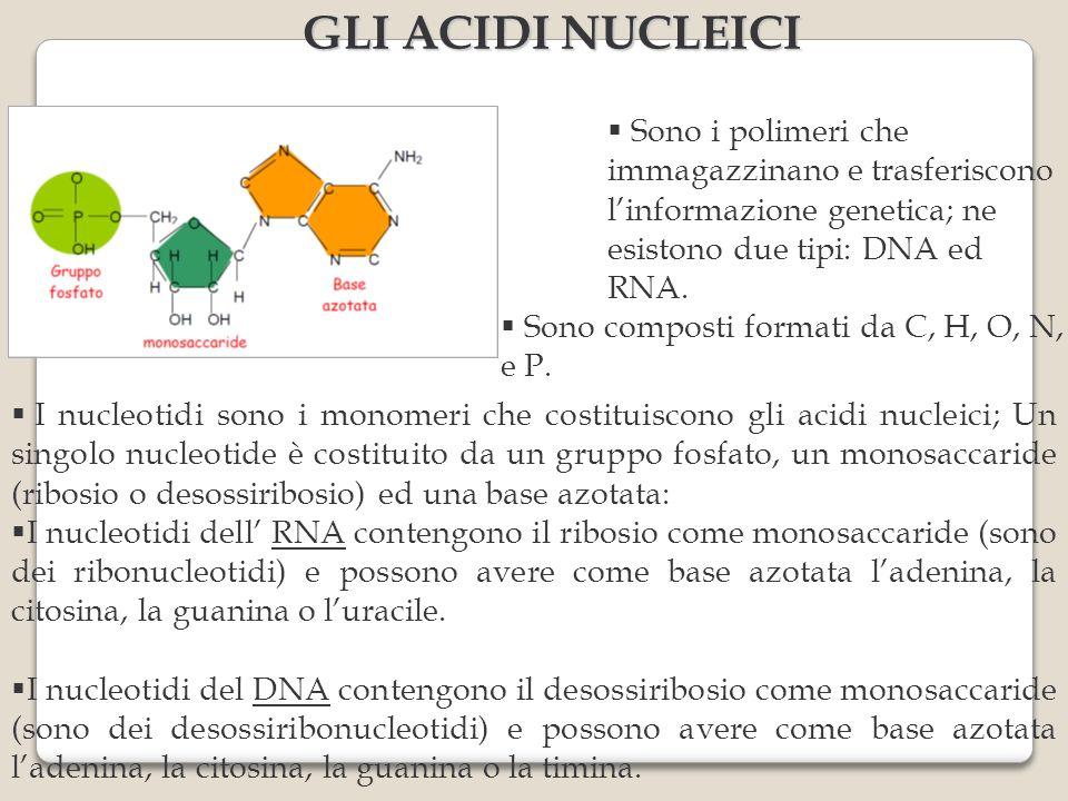 I nucleotidi sono i monomeri che costituiscono gli acidi nucleici; Un singolo nucleotide è costituito da un gruppo fosfato, un monosaccaride (ribosio o desossiribosio) ed una base azotata: I nucleotidi dell RNA contengono il ribosio come monosaccaride (sono dei ribonucleotidi) e possono avere come base azotata ladenina, la citosina, la guanina o luracile.