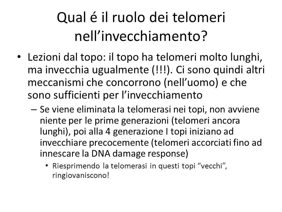Qual é il ruolo dei telomeri nellinvecchiamento? Lezioni dal topo: il topo ha telomeri molto lunghi, ma invecchia ugualmente (!!!). Ci sono quindi alt