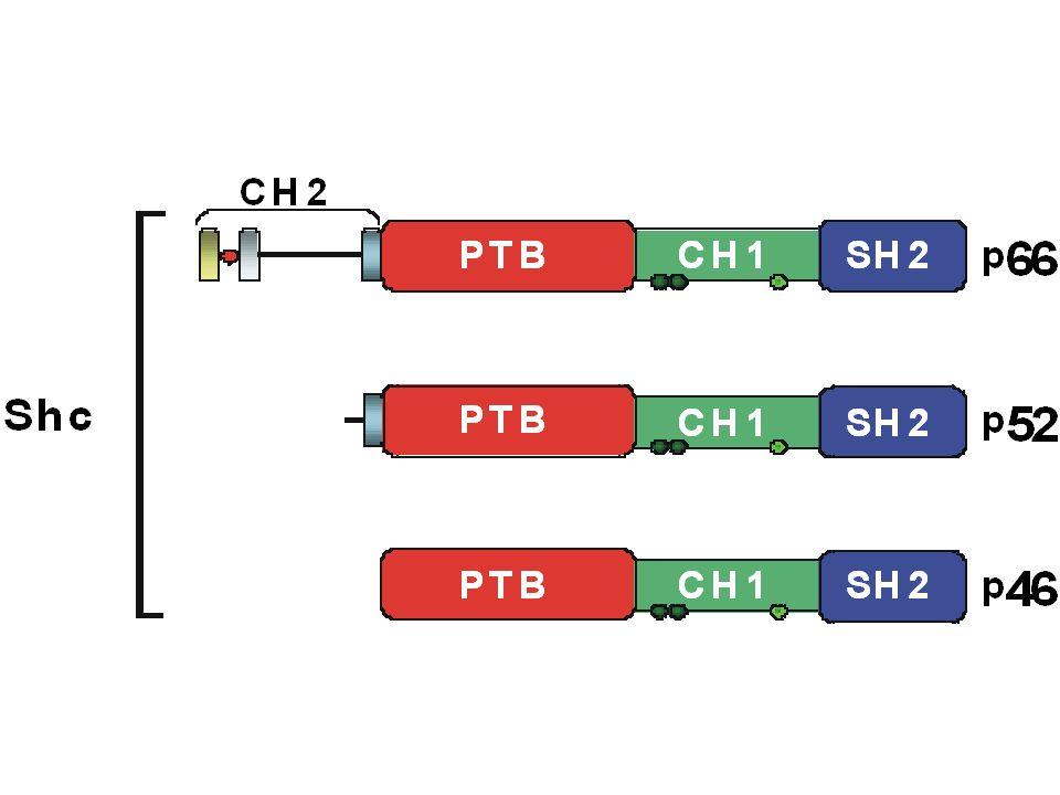Meccanismi molecolari di invecchiamento nel lievito