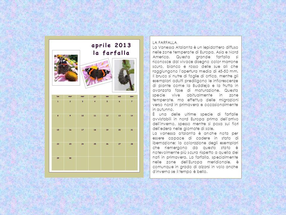 LA FARFALLA La Vanessa Atalanta è un lepidottero diffuso nelle zone temperate di Europa, Asia e Nord America. Questa grande farfalla si riconosce dal