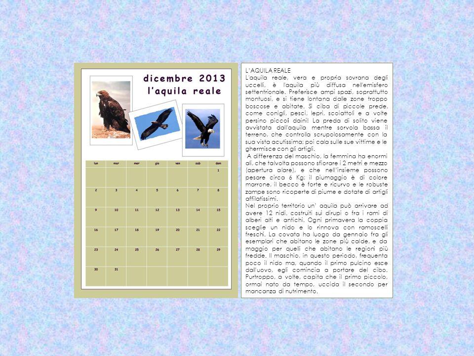 LAQUILA REALE L'aquila reale, vera e propria sovrana degli uccelli, è l'aquila più diffusa nell'emisfero settentrionale. Preferisce ampi spazi, soprat