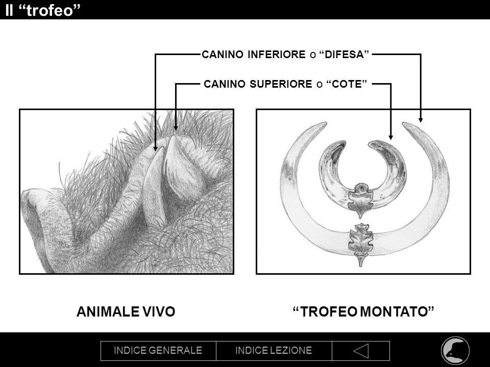 INDICE GENERALEINDICE LEZIONE Il trofeo CANINO INFERIORE O DIFESA TROFEO MONTATOANIMALE VIVO CANINO SUPERIORE O COTE