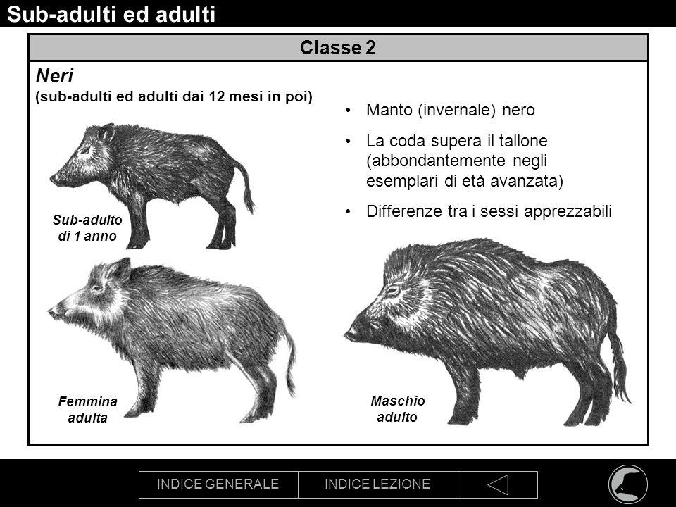 INDICE GENERALEINDICE LEZIONE Sub-adulti ed adulti Classe 2 Neri (sub-adulti ed adulti dai 12 mesi in poi) Manto (invernale) nero La coda supera il ta