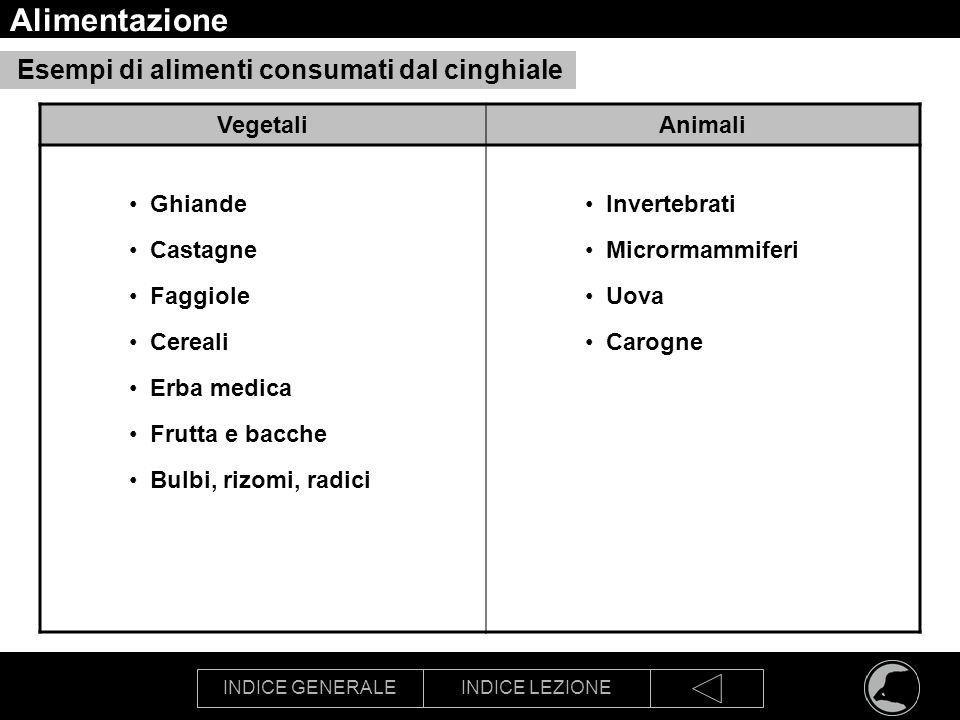 INDICE GENERALEINDICE LEZIONE Alimentazione Esempi di alimenti consumati dal cinghiale VegetaliAnimali Ghiande Castagne Faggiole Cereali Erba medica F