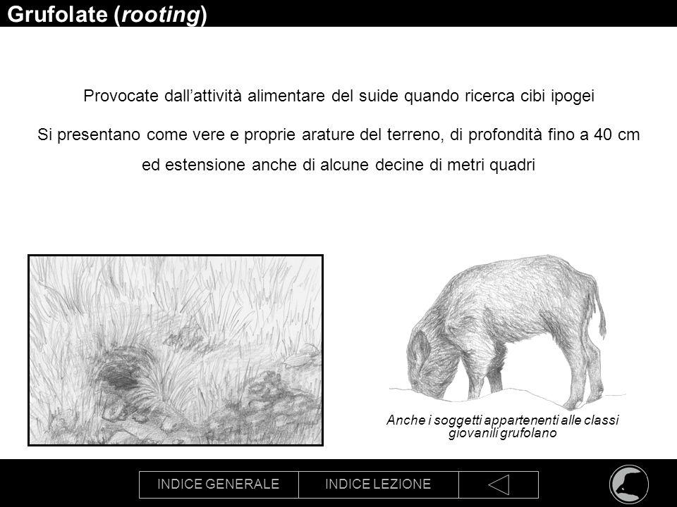 INDICE GENERALEINDICE LEZIONE Grufolate (rooting) Provocate dallattività alimentare del suide quando ricerca cibi ipogei Si presentano come vere e pro