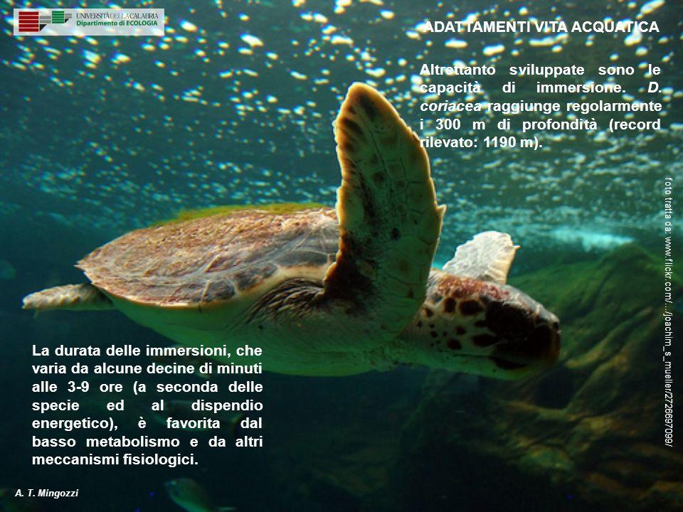 Altrettanto sviluppate sono le capacità di immersione. D. coriacea raggiunge regolarmente i 300 m di profondità (record rilevato: 1190 m). La durata d